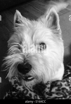 Cute westie, West Highland Terrier Foto de stock