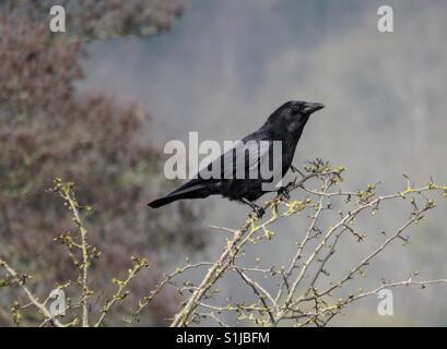 Crow en una rama.