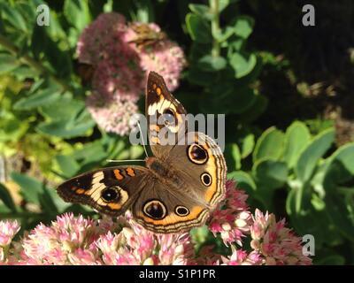 Buckeye común mariposa en floración sedum