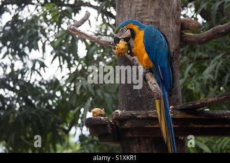 Comer guacamayo azul y amarillo Foto de stock