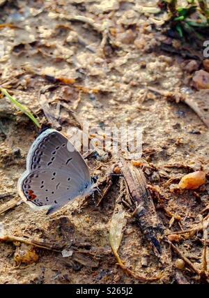 Mariposa Tailed-Blue oriental de Carolina del Norte arenoso suelo Foto de stock