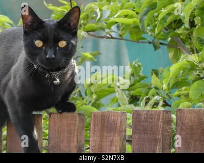 Gato negro en un jardín cercado