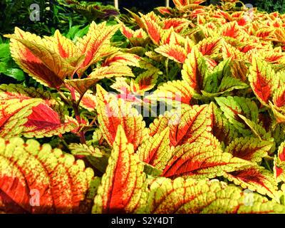 Un huerto lleno de hojas rojas y amarillas coleus. Coleus es una planta ornamental y es conocido por su follaje de colores brillantes.