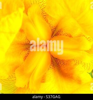 Cierre de una flor de iris amarilla (Iris pseudacorus).