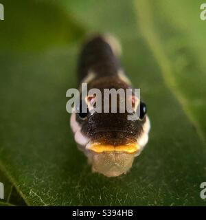 Spicebush swallowtail oruga en spicebush Foto de stock