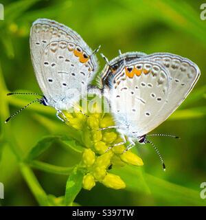 Par de mariposas azules de cola oriental apareamiento Foto de stock
