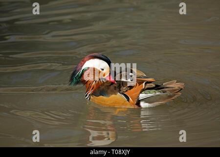 Varón soltero Pato mandarín, Aix galericulata, natación, y Humedales Wildfowl Trust, Slimbridge, Reino Unido