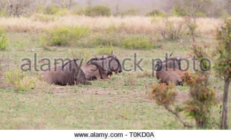 El ñu azul (Connochaetes taurinus) resing en calor, el Parque Nacional Kruger, Sudáfrica
