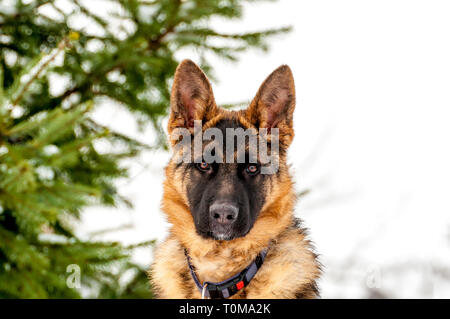 Retrato de un hermoso cachorro de perro pastor alemán en invierno.