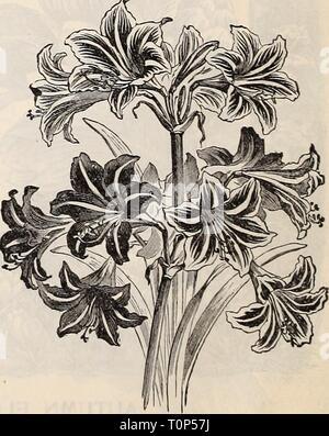 Agapanthus Agapanthus Lily Africanos Espléndidas