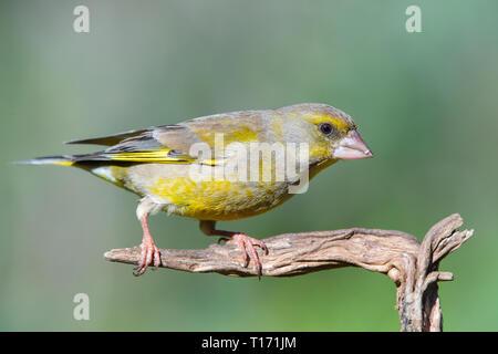 Unión verderón (Chloris chloris),sentado en una rama. Verderon