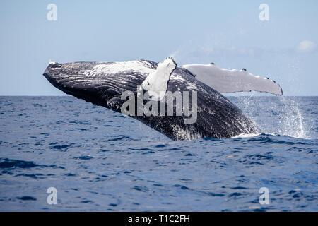 Una enorme ballena jorobada, Megaptera novaeangliae, infracciones de las azules aguas del Mar Caribe.