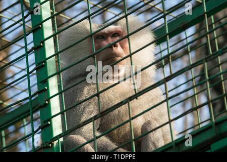 Triste en la jaula del mono - mono macaco cautivos