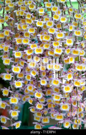 Dendrobium aphyllum orquídeas , belleza natural en el jardín de orquídeas.