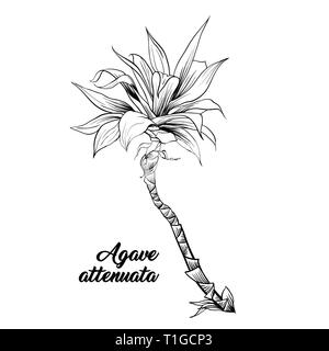 Agave attenuata, palmera ilustración dibujada a mano. Hojas de palmera Ink pen sketch de esquema. Planta Tropical freehand grabado realistas. Tarjeta de felicitación elemento diseño monocromático aislado