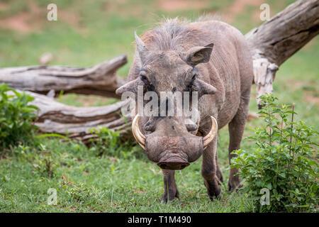 Jabalí macho de pie en el césped en la reserva de caza de Welgevonden, Sudáfrica. Foto de stock