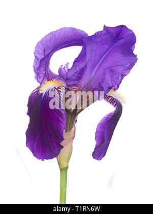 Flor púrpura Iris alborotado, aka Bandera, germanica, aislado sobre fondo blanco.