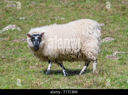 Vista lateral de un choro ovejas blancas con una cabeza negra mirando a la cámara mientras está de pie sobre el césped en un campo en primavera en el Reino Unido.