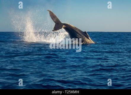 La ballena jorobada (Megaptera novaeangliae)