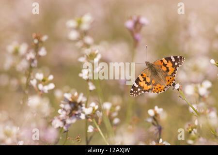 Painted Lady (Vanessa cardui) butterfly alimentación. Esta mariposa se encuentra en Europa, África septentrional y Asia occidental. Fotografiado en Israel, en Marc