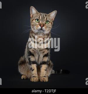 Lindo y excelente brown tabby American Shorthair gato sentado mirando hacia delante. Mirando la cámara junto con el verde de los ojos amarillos. Aislado sobre fondo negro