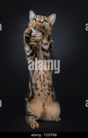 Lindo y excelente brown tabby American Shorthair gato sentado en hind patas estiradas hacia arriba para jugar / captura. Mirando hacia arriba con verde amarillo