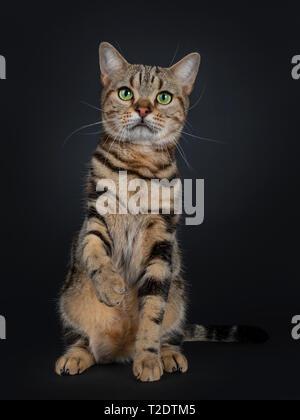 Lindo y excelente brown tabby American Shorthair gato sentado mirando hacia delante. Mirando directamente en la cámara con el verde de los ojos amarillos. Uno paw arriba como las sacudidas