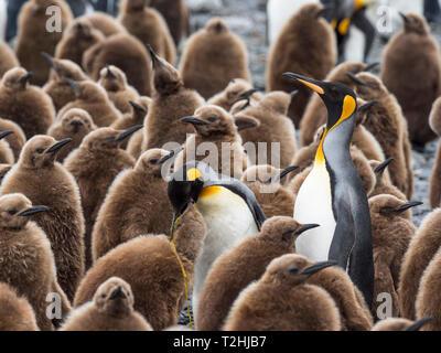Pingüinos rey, adultos aptenodytes patagonicus, entre los pollitos en la llanura de Salisbury, Isla Georgia del Sur, el Océano Atlántico