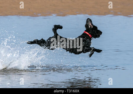 Southport, Merseyside, Reino Unido. Día de perros. El 6 de abril de 2019. Un hermoso día soleado y cálido como un niño de 3 años llamado Cockapoo Poppy tiene el mejor día de mi vida como ella corre a través de las mareas aguas a lo largo de la playa en Southport en Merseyside. Crédito: Cernan Elias/Alamy Live News