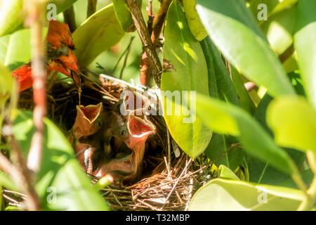 Un hombre cardenal tiene la comida en su boca que gotea en un bebé pollitos boca como él alimenta a sus bebés en las aves anidan. Foto de stock