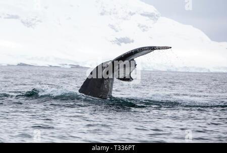 La ballena jorobada, Megaptera novaeangliae, alimentándose cerca Anvord Isla, Tierra de Graham, Antártida Peninsular.
