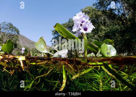 Agua, Hyazinth Eichhornia sp., Aquario Natural, Bonito, Mato Grosso do Sul, Brasil