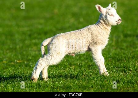 Ovejas, corderos machos Dalesbred o ram cordero mirando hacia la derecha en verdes praderas. Valles de Yorkshire, Inglaterra. En el Reino Unido. Paisaje, Horizontal. Espacio para copiar.