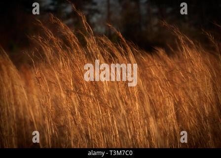 Broom juncia Bluestem hierba crece en Tuscaloosa, Alabama, el 20 de febrero, 2009.