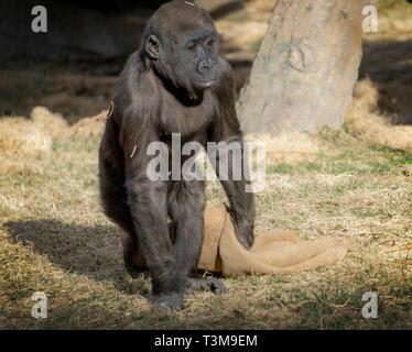 Gorila de las tierras bajas occidentales Zoológico de Calgary Alberta Canada