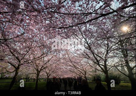 Los cerezos en flor en Bispeengen, Dinamarca