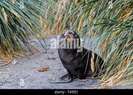 Cute foca pup posando en una playa de arena, en medio de la Hierba Tussac, Isla Georgia del Sur, el Océano Atlántico sur