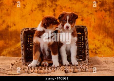 Pastor Australiano, Puppy, 8 semanas, rojo tri