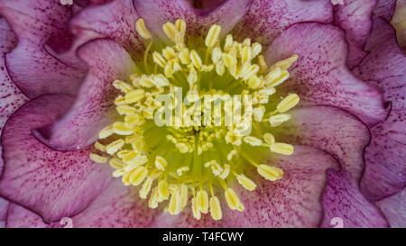 Un disparo de un macro hellebore ellen doble flor morada.