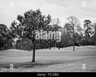 The Woodlands, TX USA - Feb 20, 2018 - Pine Tree en Campo de Golf en invierno Sur TX en B&W