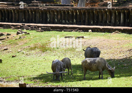 Cuatro adultos búfalos (Bubalus bubalis) pastan en pastos en la sombra cerca de la calzada en Baphuon templo de Angkor Thom, Camboya.