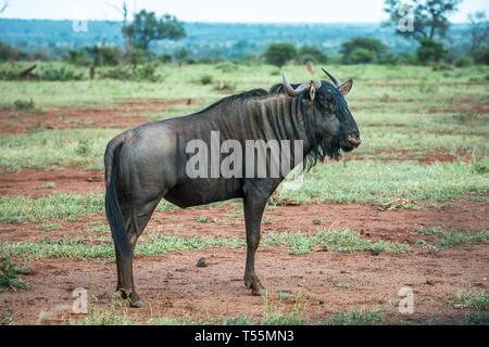 El ñu azul en el Parque Nacional Kruger, Sudáfrica Foto de stock