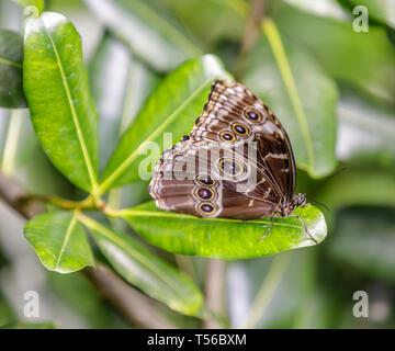 Mariposa Morpho azul (Morpho Menelaus) encaramado en una hoja.