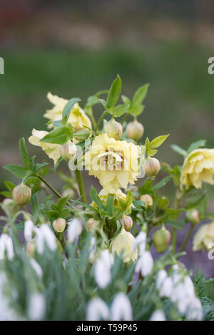 Doble Harvington Helleborus orientalis 'amarillos' y Galanthus nivalis en el jardín.