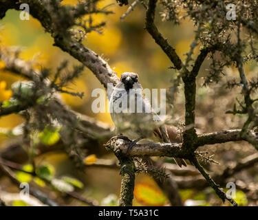 Gorrión posado en las ramas alrededor Glaslyn Osprey Project