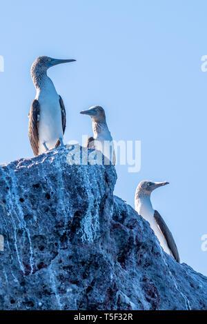 Tres Piqueros de patas azules (Sula nebouxii) posado sobre una roca en la costa de Baja California, México.