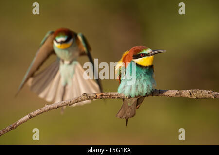 Pareja de abejarucos europeo, Merops apiaster.