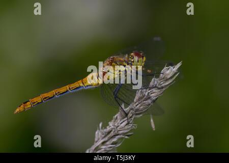 Una libélula Ruddy Darter, sympetrum sanquineum, - sentado en una planta de tallo seco.
