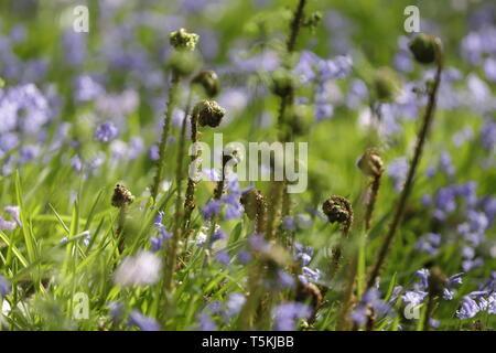Primavera en el bosque, Sint Maartensvlotbrug Wildrijk, Holanda blooming Blue Bells y nuevos helechos del bosque para colorear