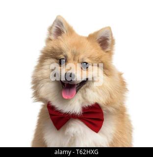 Perro Pomerania, 9 meses, delante de un fondo blanco